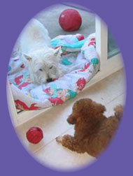 "westie/poodle photo ""dog boarding"""