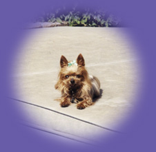 "Yorkie laying down ""Newport Beach pet sitting"""