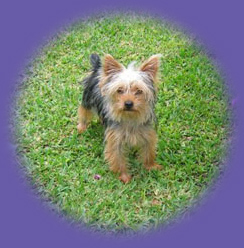"yorkie on grass ""dog care"""